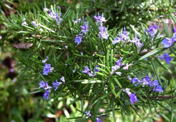 РУЗМАРИН Ruzmarin-biljka