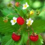 Lekovita šumska jagoda i čaj od jagode