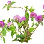 Čaj od deteline za multiplu sklerozu