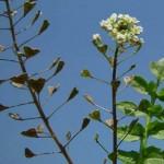 Biljka rusomača – čaj – kao lek