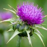 Biljka sikavica – gujina trava – čaj za jetru
