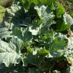 Biljka raštan (raštika) upotreba i recepti