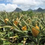 Anans voće za dobro zdravlje i mršavljenje, kalorije, vitamini…