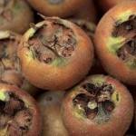 Mušmula voće za dobro zdravlje, recepti za čaj, džem i liker