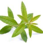Verbena čaj lekovita svojstva, priprema i doziranje