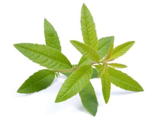 verbena biljka