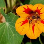 Dragoljub cvet kao lek – upotreba